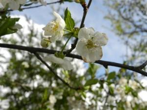 morello cherry tree